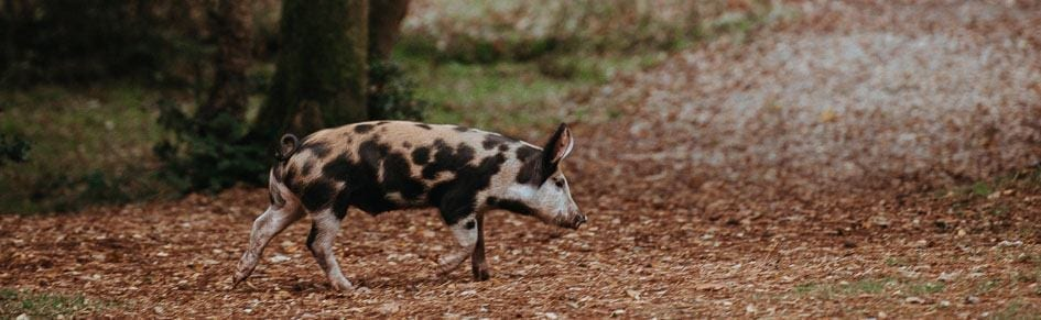 MC-Ask-Me-Little-Pig-Creative-Writing-1